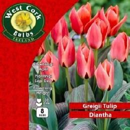 Tulip Diantha 8 Pack