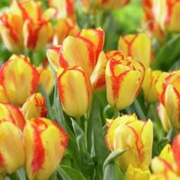 Tulip 'Outbreak'