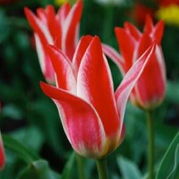 Tulip 'Pinocchio' 7 Pack