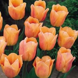 Tulip Apricona