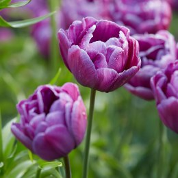 Tulip Blue Diamond