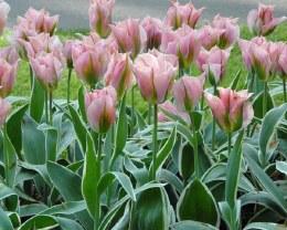 Tulip China Town