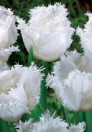 Tulip 'Honeymoon'