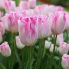 Tulip Infiniti