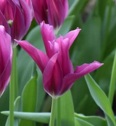Tulip 'Purple Doll'