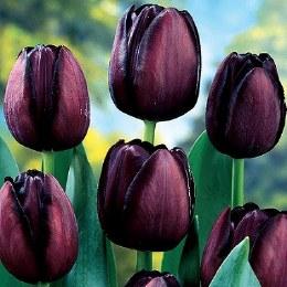 Tulip 'Queen of Night'