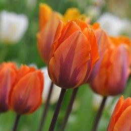 Tulip Tulipa Prinses Irene