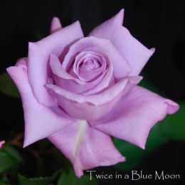 Twice In a Blue Moon Hybrid Tea Rose - 3 Litre