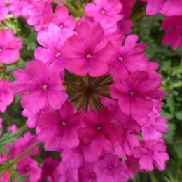Verbena Hot Rose 10cm