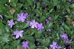 VINCA Minor Bowles Purple - SPECIAL OFFER BUY ANY 3 FOR €20
