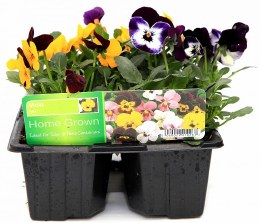 Viola Mix 6 Pack Mixed Colours