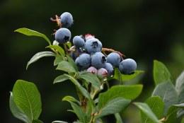 Blueberry 'Northland' | Vaccinium corymbosum Northland 2 Litre