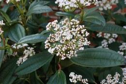 Viburnum davidii 2Ltr