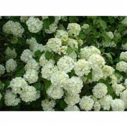 Viburnum plic. Newport in 3.5 Litre Pot - in Flower