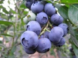 Blueberry Chandler' | Vaccinium corybosum Chandler' 60-80cm 3 Litre