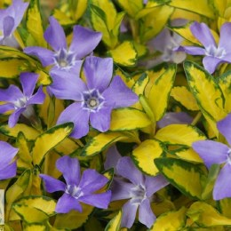 Vinca minor 'Illumination' | Periwinkle