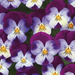 Viola 6 Pack Blue With Purple Wing
