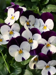 Viola 6 Pack White With Purple Wing