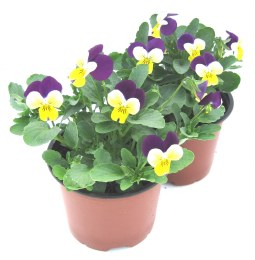 Viola in 10cm pot