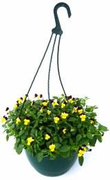 Hanging Basket Viola Mixed Colour 20cm