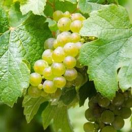 Grape 'Bianca' | Vitis vinifera 'Bianca'