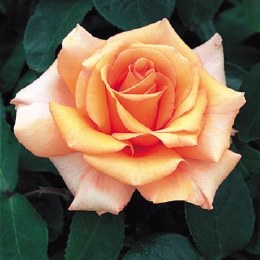 Warm Wishes Hybrid Tea Rose - 4.5 Litre