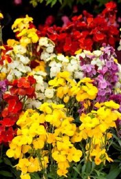 Wallflowers in a mixed bunch of 25