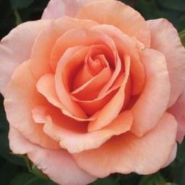 Warm Wishes Hybrid Tea Rose - 5.5 Litre