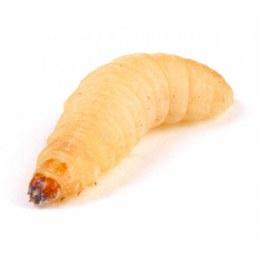 Waxmoth Larvae | Waxworms 15-20mm 15g Tub