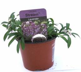 Alyssum Trailing Lavender 10cm