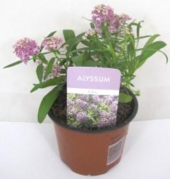Alyssum Trailing Lilac 10cm