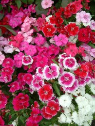 Dianthus 6 pack Bedding