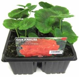 Geranium Deep Scarlet