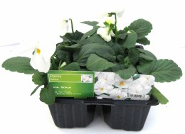 Pansy 6 Pure White