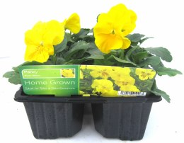 Pansy 6  Pack Yellow