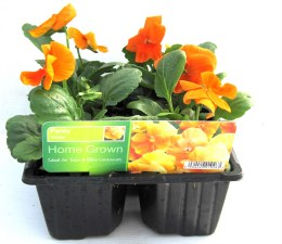 Pansy 6 pack Deep Orange