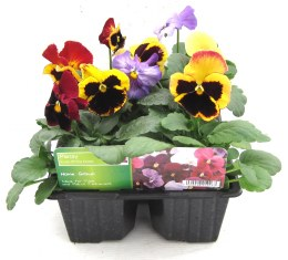Pansy 6 pack Fruit of the Forest
