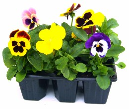 Pansy 6 Pack Mixed colours