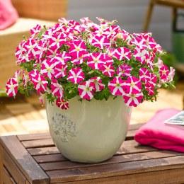 Petunia Amore Pink Heart 10cm