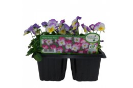 Viola 6 pack Deltini Rose Pink