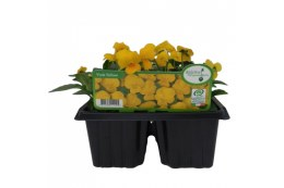Viola 6 Pack Yellow