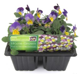 Viola 6 Pack Lilac Purple Wing