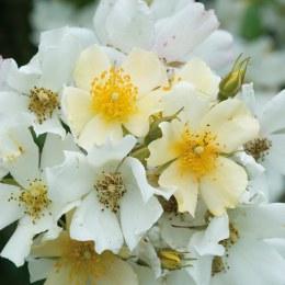 Wedding Day Rambling Rose - 5 Litre