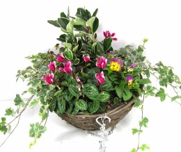 "Hanging Basket 12"" with Surfinias, Fuchsia, Bacopa & Verbena  Mix"