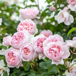 Wildeve David Austin Fragrant Rose 6 Litre