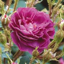 William Lobb Shrub Rose