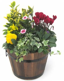 Wooden Planted Brown or Grey Barrell with Seasonal Colour