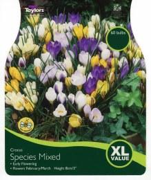 Crocus Species Mixed 45 per Pack
