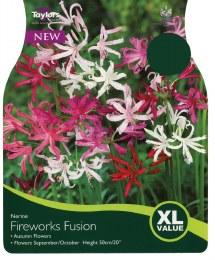 Nerine Fireworks & Fusion x5