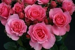 You're Beautiful Floribunda Rose - 3 Ltr Rose of the Year